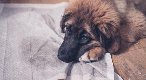 A l'aide ! Mon chien urine dans la maison. Que faire ?