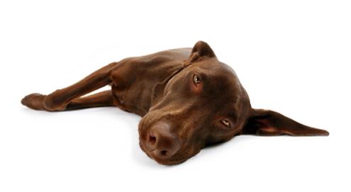 Alvleesklierproblemen bij de hond