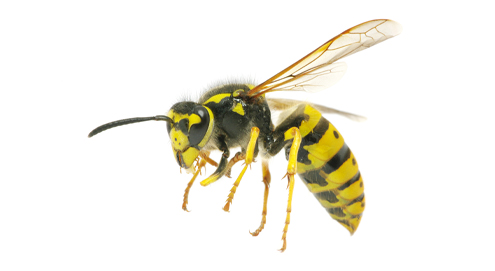 Beware! Aggressive wasps are approaching
