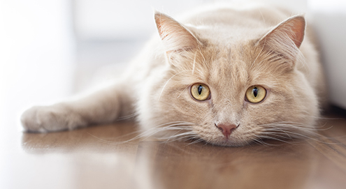 Chronic kidney failure in cats