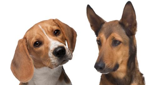 Alles zum Ohr und Ohrentzündungen beim Hund
