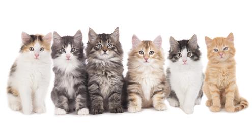 De aanschaf van een kitten