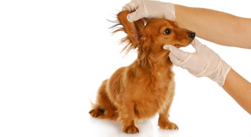 De verzorging van de oren van hond en kat
