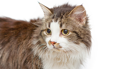 Dementie en hersenveroudering bij hond en kat