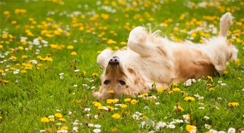Flöhe bei Hunden und Katzen