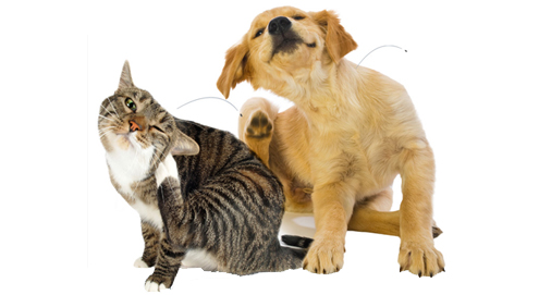 Fleas on dogs and cats