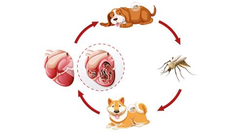 Hartworm bij de hond en kat