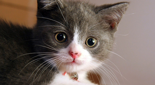 Hoe houd u uw kitten gezond