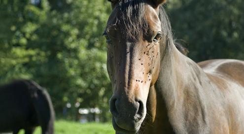 Ihr Pferd gegen Bremsen und Fliegen schützen