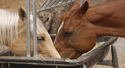 Koliek bij het paard