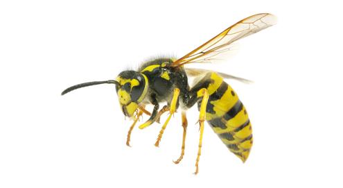 Let op! Agressieve wespen op komst
