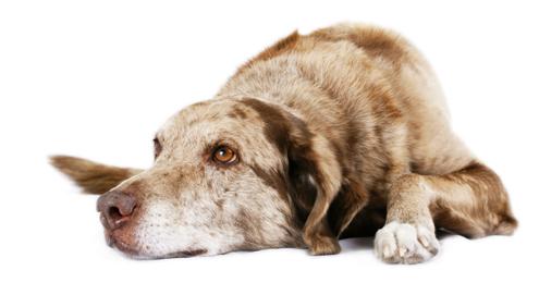 Nierproblemen bij hond en kat