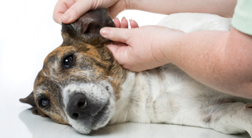 Ohrinfektionen / Ohrenentzündung bei Hunden und Katzen