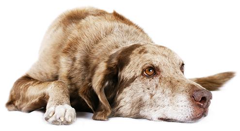 Ouderdomsverschijnselen bij huisdieren