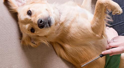 Prendre soin du pelage de votre animal en été