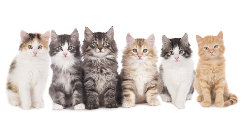 Royal Canin legt uit: Waarom is er unieke voeding voor jouw kattenras?