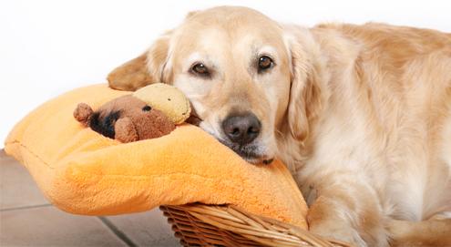Schijndracht bij de hond