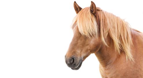 Sommerekzem (Schweif-und-Mähnen-Ekzem) bei Pferden