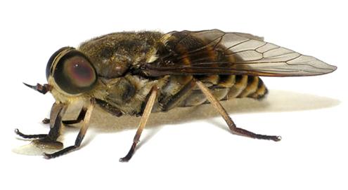 Steekvliegen, dazen en horzels