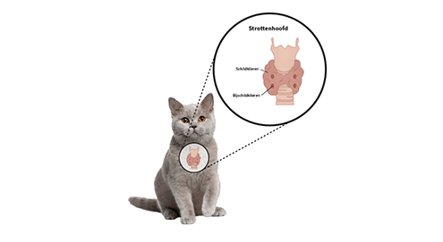 Te snel werkende schildklier bij je kat