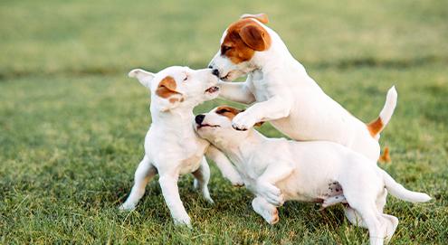 Top 10 kleine hondenrassen