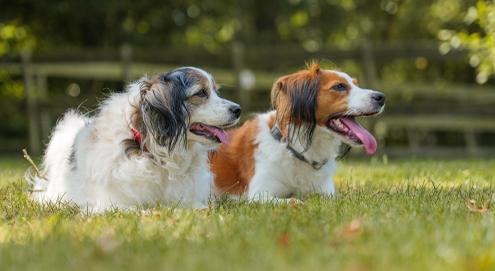 Top 10 middelgrote hondenrassen