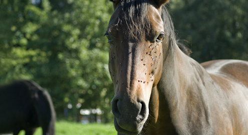 Uw paard beschermen tegen dazen en vliegen
