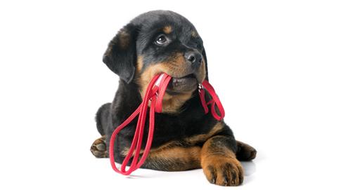 Uw pup aan de riem leren lopen