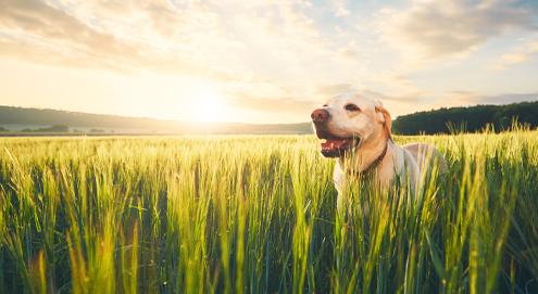 Waarom zijn grasaren gevaarlijk voor je hond?