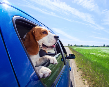 Travel & Safety for Dogs