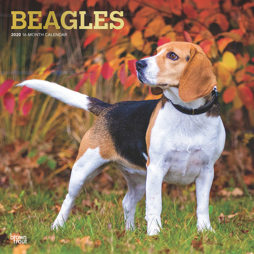 Beagles Calendrier 2020