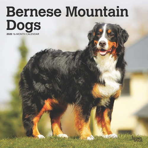 Bernese Mountain Dog Calendar 2020