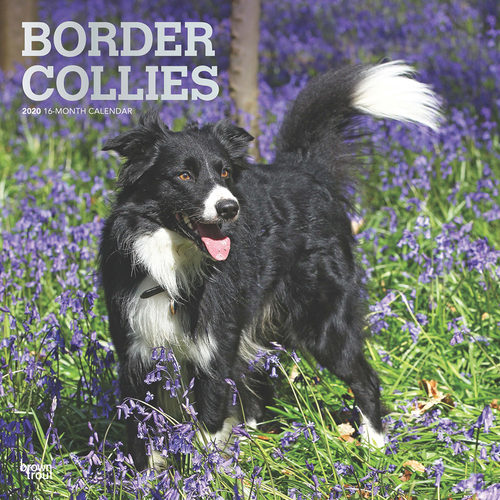 Border Collie Calendrier 2020