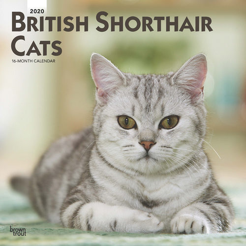 British Shorthair Cats Kalender 2020