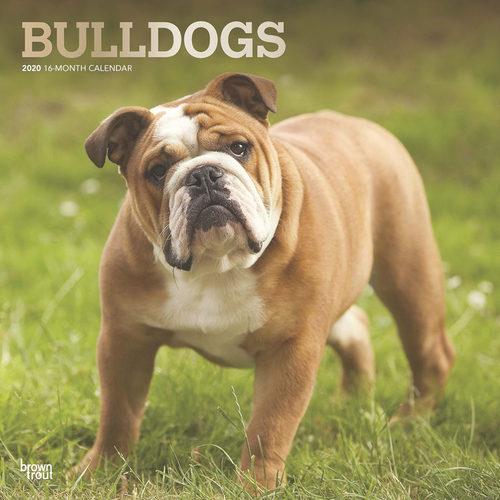 Bulldog Calendrier 2020 (Bouledogue)