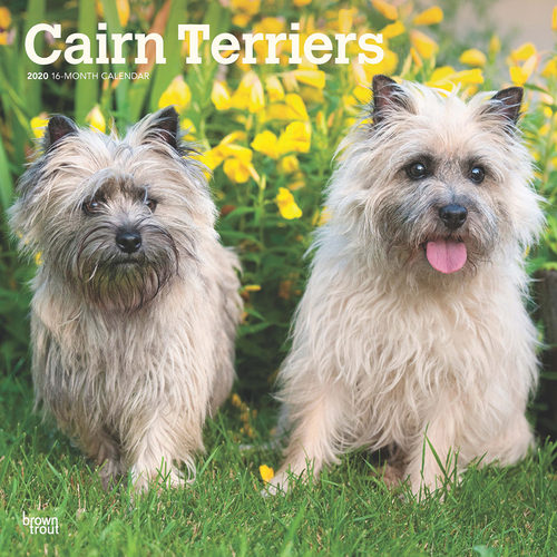 Cairn Terrier Calendrier 2020