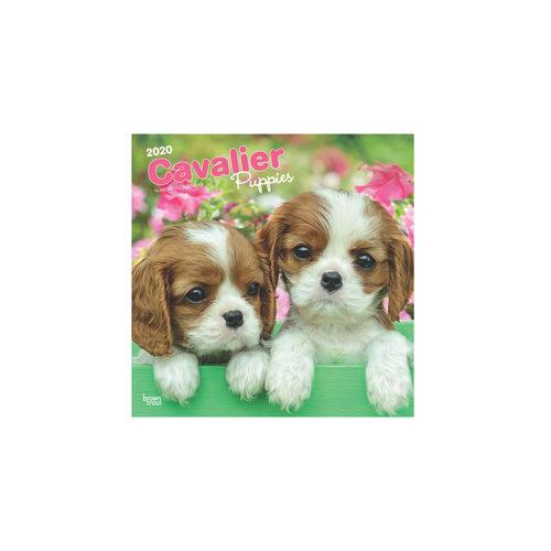 Cavalier Puppies Kalender 2020