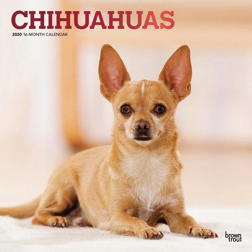 Chihuahuas Kalender 2020