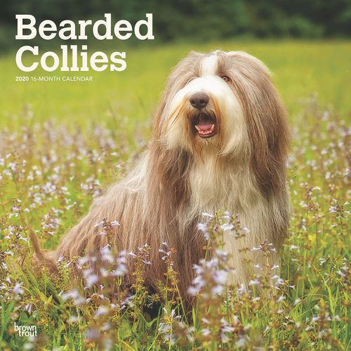 Bearded Collies Kalender 2020