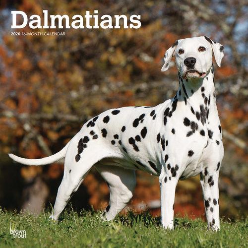 Dalmatians Kalender 2020