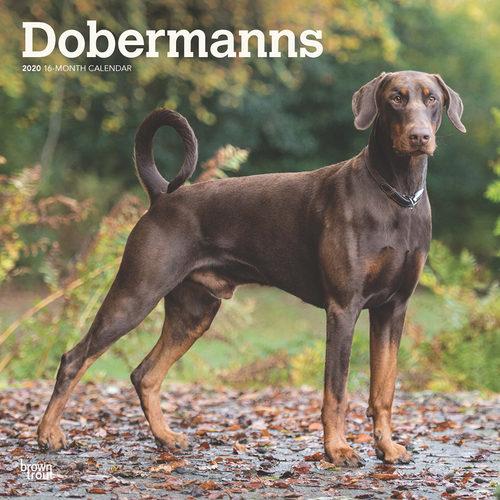 Dobermanns Calendrier 2020