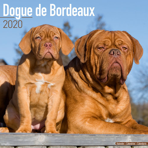 Dogue de Bordeaux Calendrier 2020