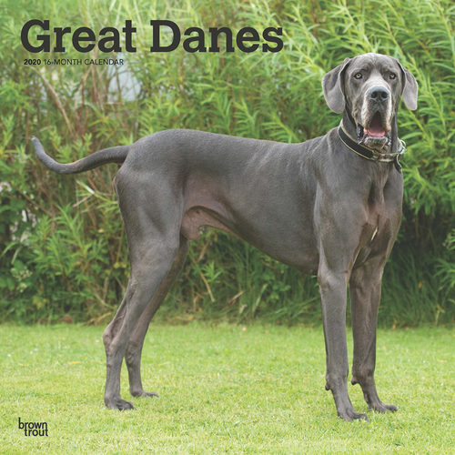 Great Danes Calendrier 2020 (Dogue Allemand)