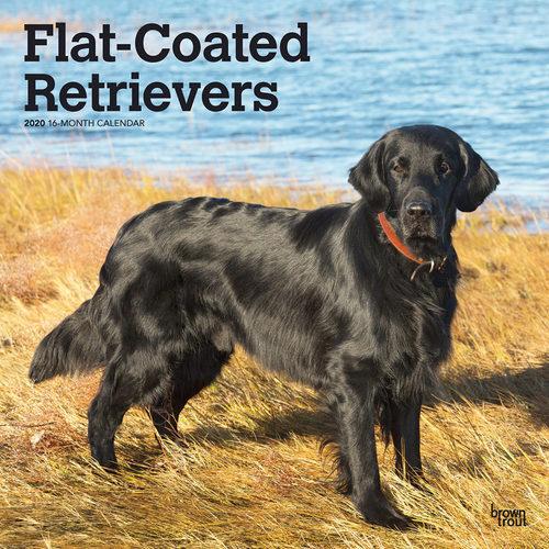 Flat Coated Retriever Calendrier 2020 (Retriever à poil plat)