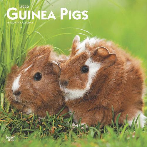 Guinea Pigs Kalender 2020