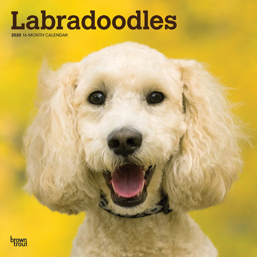 Calendrier 2020 Animaux.Labradoodle Calendrier 2020