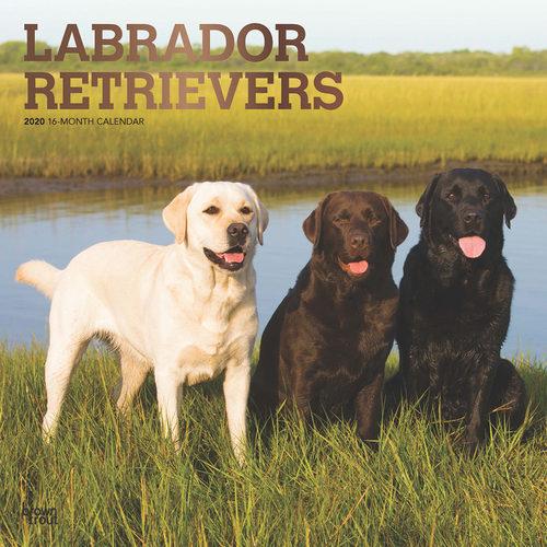 Labrador Retriever Calendrier 2020