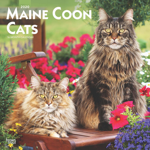 Maine Coon Calendrier 2020
