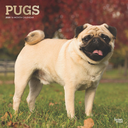 Pugs Calendrier 2020 Carlin