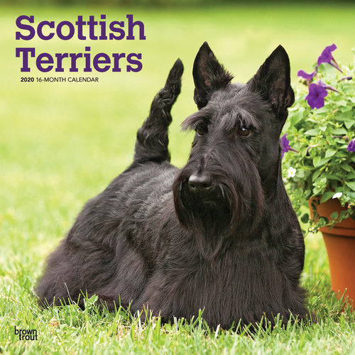 Scottish Terriers Calendrier 2020 (Terrier Ecossais)